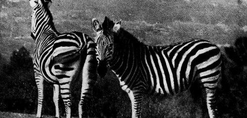 https://www.literaturportal-bayern.de/images/lpbblogs/autorblog/klein/zebra_500.jpg